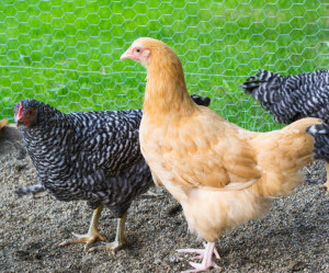 Buff Orpington's and barred rock's