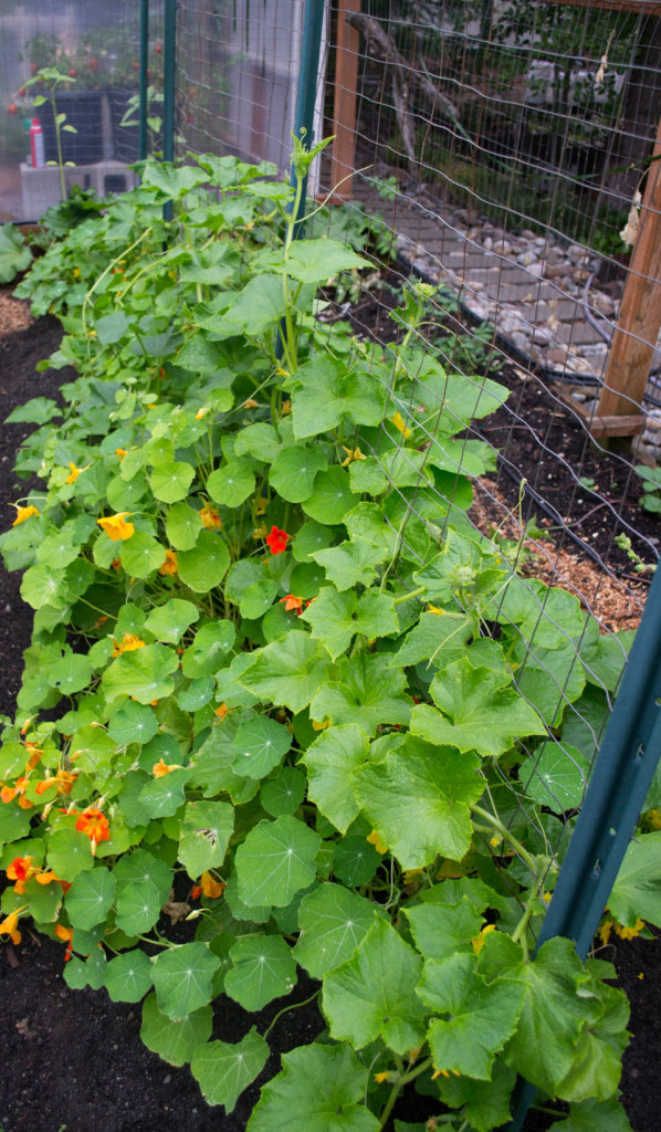 cucumbers and nasturtiums